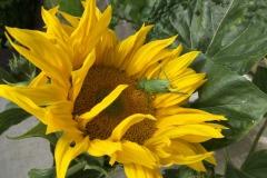 Kobylka-zelená-na-slunečnici